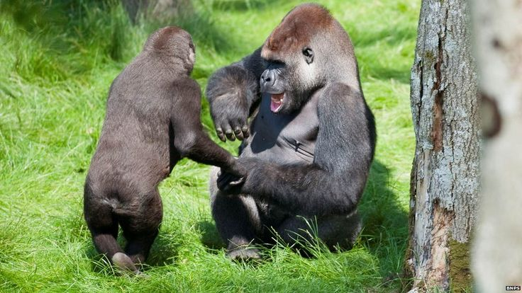 Gorilla brothers' joy upon being reunited after after three years apart