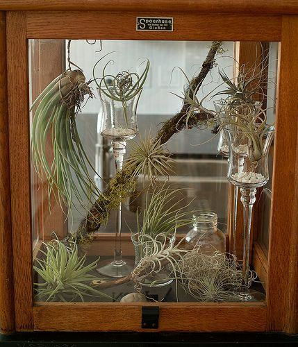 Air Plant Display Ideas: 82 Best Air Plant Display Ideas Images On Pinterest
