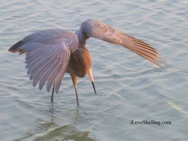 1000 images about sanibel wildlife on pinterest for Sanibel fish house