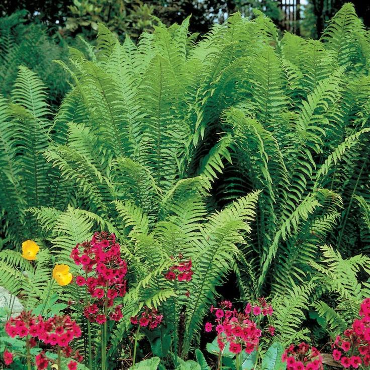 Do Ferns Grow Under Oak Trees : About ostrich fern on ferns garden and shade grass