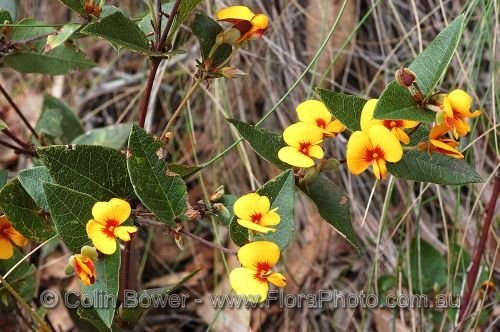 "Local ""Rockery"" plants - Platylobium formosum (Handsome flat pea)"