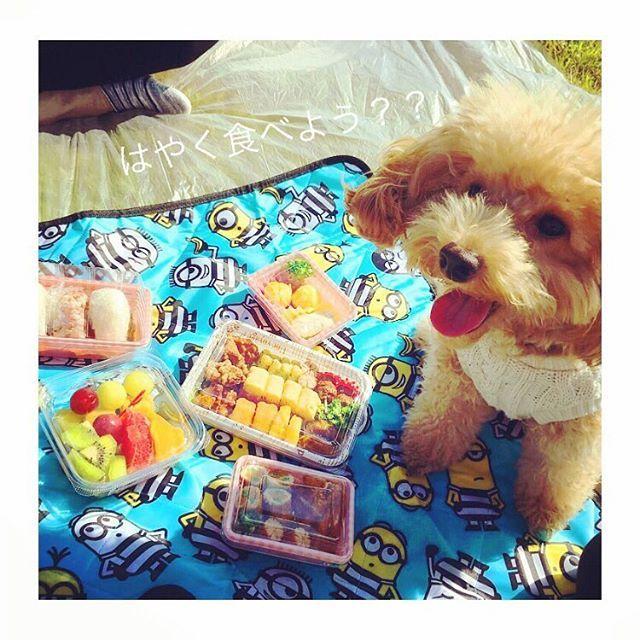 2017.11.12🍒 . 今日はみんなでピクニック☀️ まいんのお弁当は1番上の小さいやつだよ👍✨✨ . トリミング来週だからボサボサちゃん💧💧 . #トイプードル #といぷー #toypoodle #愛犬 #まいん #mine #わんこのいる暮らし #わんこなしでは生きていけません #いぬばか部 #いぬバカ部 #love #japan #fukuoka #pappy #いぬすた #わんこ #dog #cute #gn #instagramdogs #instagramjapan #poodlelove #poodlegram #like4like #likeforlike #like4follow #japanesedog #petstagram #toypoodlesofinstagram #toypoodlesofinstagram #toypoodle #dogsofinsta #petstagram .