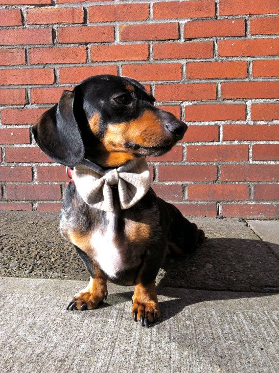 Handsome.Dogs Bows, Bows Ties, Handsome Guys, Bowties, Handsome Boys, Baby Dogs, Wiener Dogs, Handsome Man, Dogs Clothing