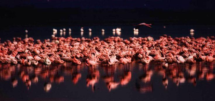 The elegant flamingoes of Lake Nakuru