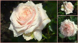 Lovely roses from garden Wilcza Gora http://wilczagora.blogspot.com