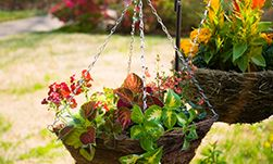 Plant Care And Growing Hanging Baskets