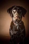 Chocolate Lab, so pretty.Dogs, Chocolate Labrador Retriever, David Duchemin, Chocolate Labs, Leather Collars, Chocolates Labrador Retriever, Handsome Boys, Brown Labs, Chocolates Labs