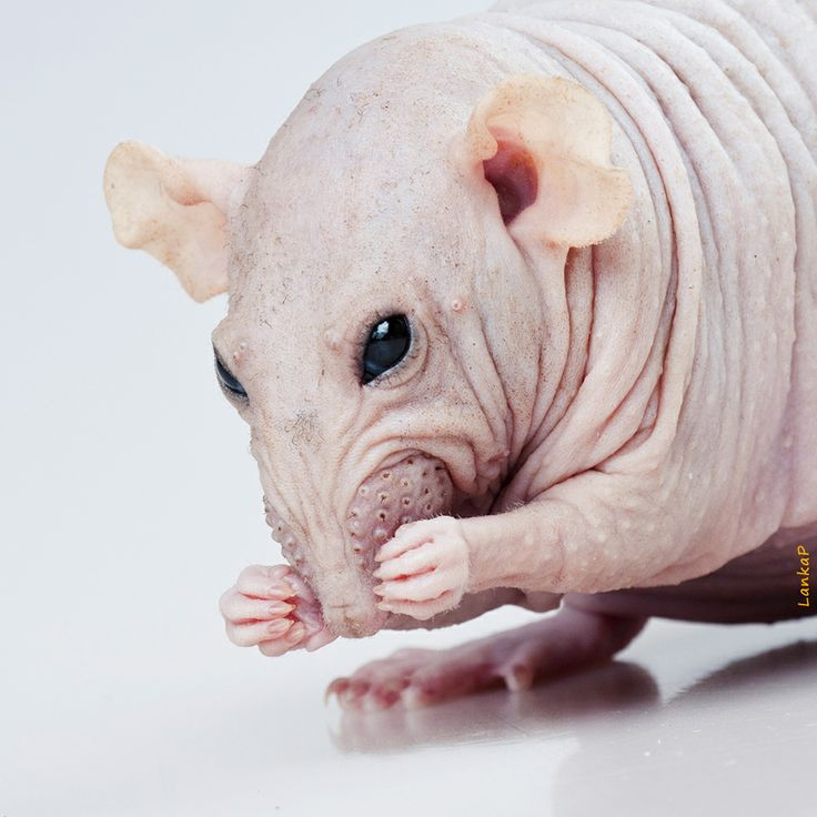 Best Hairless Dogs