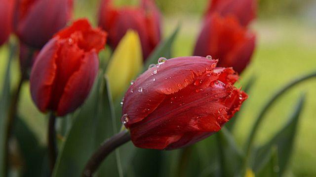 Was wäre ein Frühling ohne Tulpen (Tulipa)? Dann haben die Gartenklassiker ihre Blütezeit. Die beliebten Blumen setzen bunte Farbtupfer in rot, weiß, orange oder gelb. Auf die große Beliebtheit der Tulpen reagieren die Züchter mit immer neuen Sort...