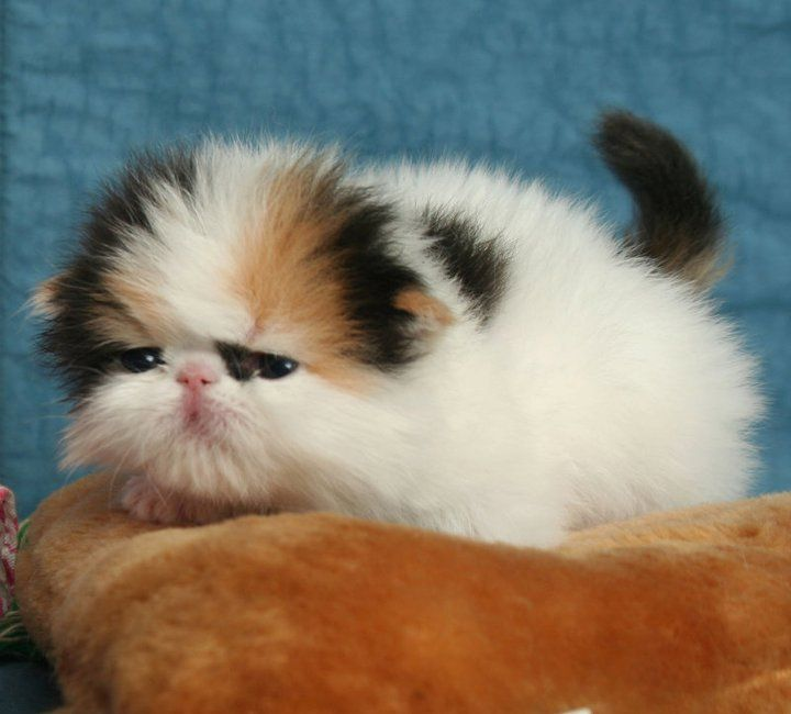 Persian Cat: 25+ Best Ideas About Persian Cats On Pinterest