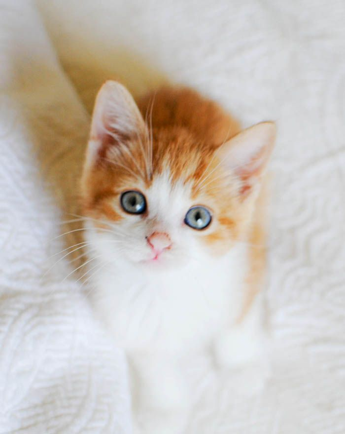 An orange and white kitten sitting on a white bed.