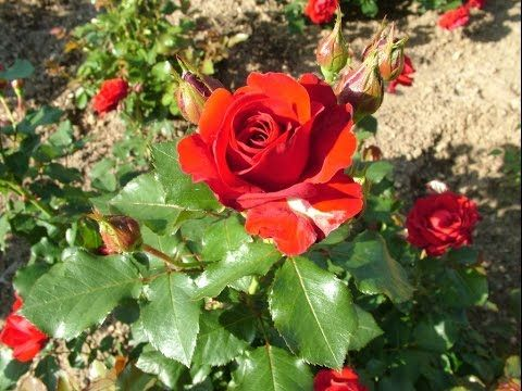 how to grow roses from cuttings nz
