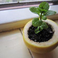 Plantar sementes nas cascas de frutas cítricas é uma boa forma de garantir a nutrição das mudas, alem de ficar lindo!