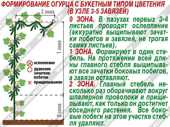 Выбираем урожайные огурцы без болезней и пустоцветов - Ботаничка.ru