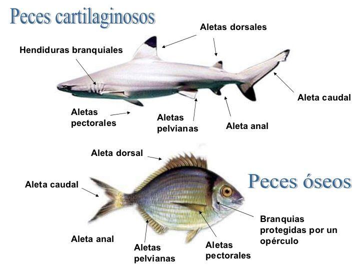 Peces vertebrados y peces cartilaginosos