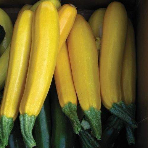 zucchini squash golden arrow f 1 hybrid this golden. Black Bedroom Furniture Sets. Home Design Ideas
