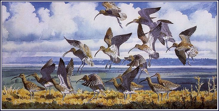 Curlews And Turnstones - Charles Tunnicliffe - WikiArt.org