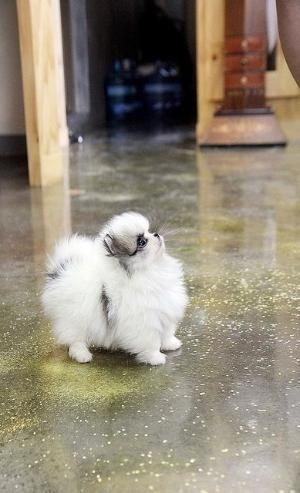 Teacup Pomeranian by 103