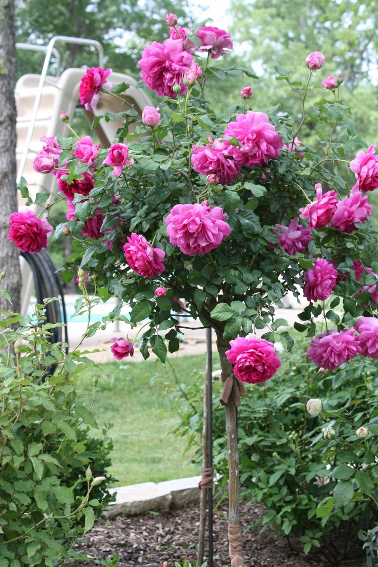 20 best My roses-my photos images on Pinterest   3/4 beds, Bloom and ...