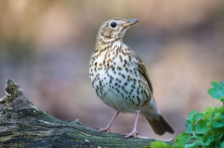 Did you know dried fruits and worms will really get the song thrushes singing in your garden? These feathered friends also make a home for their blue eggs in a mud-lined nests in trees and bushes