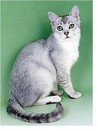 The Burmilla Cat by Marjorie Dorfman on The Burmilla Cat: An Enchanting Accident, posted via families.com