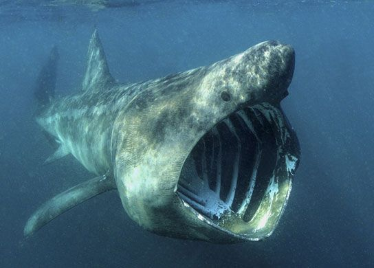 Sharks endangered: Basking Shark (Cetorhinus Maximus) with his Mouth Wide Open English Coast.