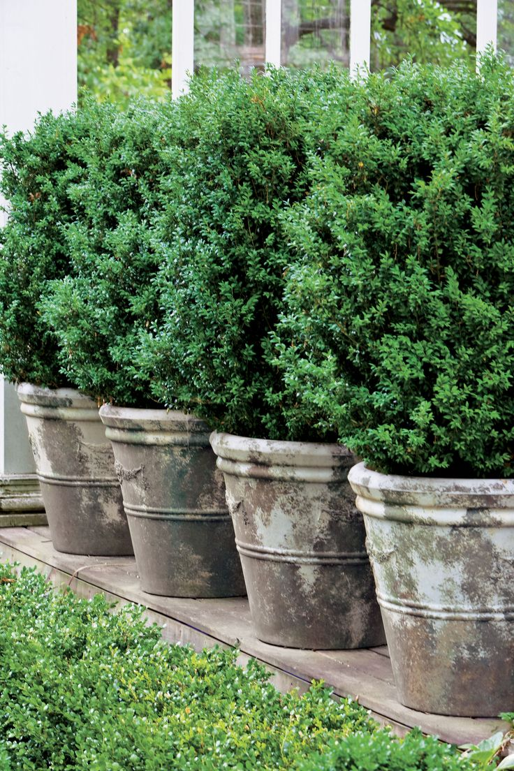Boxwoods Perfect for Pots 340 best Home