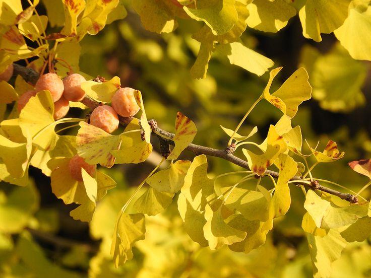 黄色く染まった銀杏(イチョウ)と夕焼けとジブリの笛【黄金の里:新潟県】