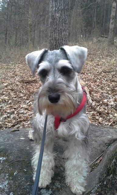 Miniature Schnauzer Gus out on a hike.