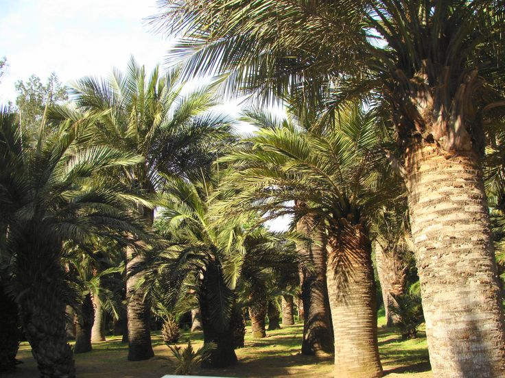 62 best images about palmas on pinterest palmas fan - Jardin botanico las palmas ...