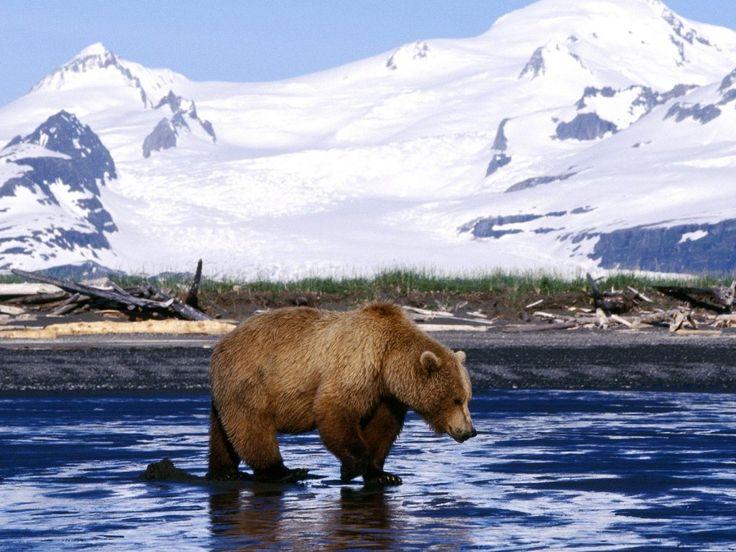 Tapety na telefon - Niedźwiedzie: http://wallpapic.pl/zwierzeta/niedźwiedzie/wallpaper-14673