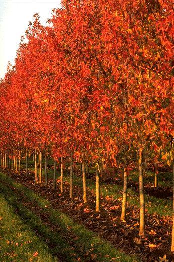 narrow trees for zone 6   Liquidamber styracifula rotundifolia