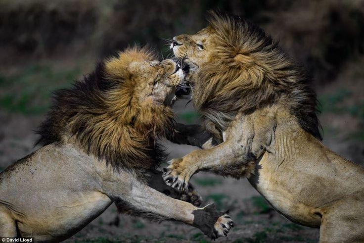 Dos leones machos luchan en uno de los retratos producidos por Lloyd, que está presentando su trabajo en una nueva exposición en Londres el próximo mes