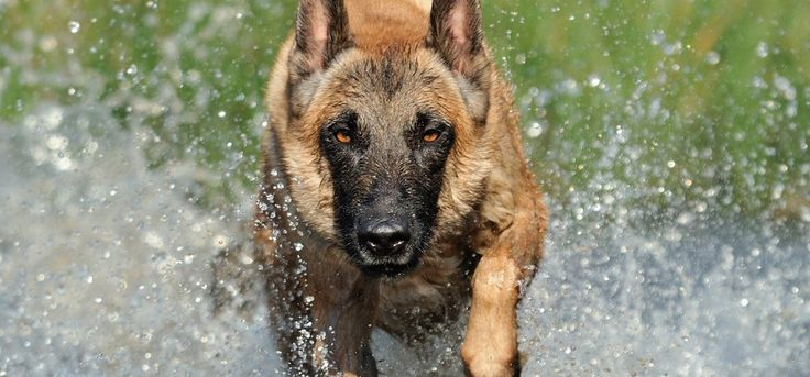 Belgian Malinois Dogs a part of the Shepherd Breed