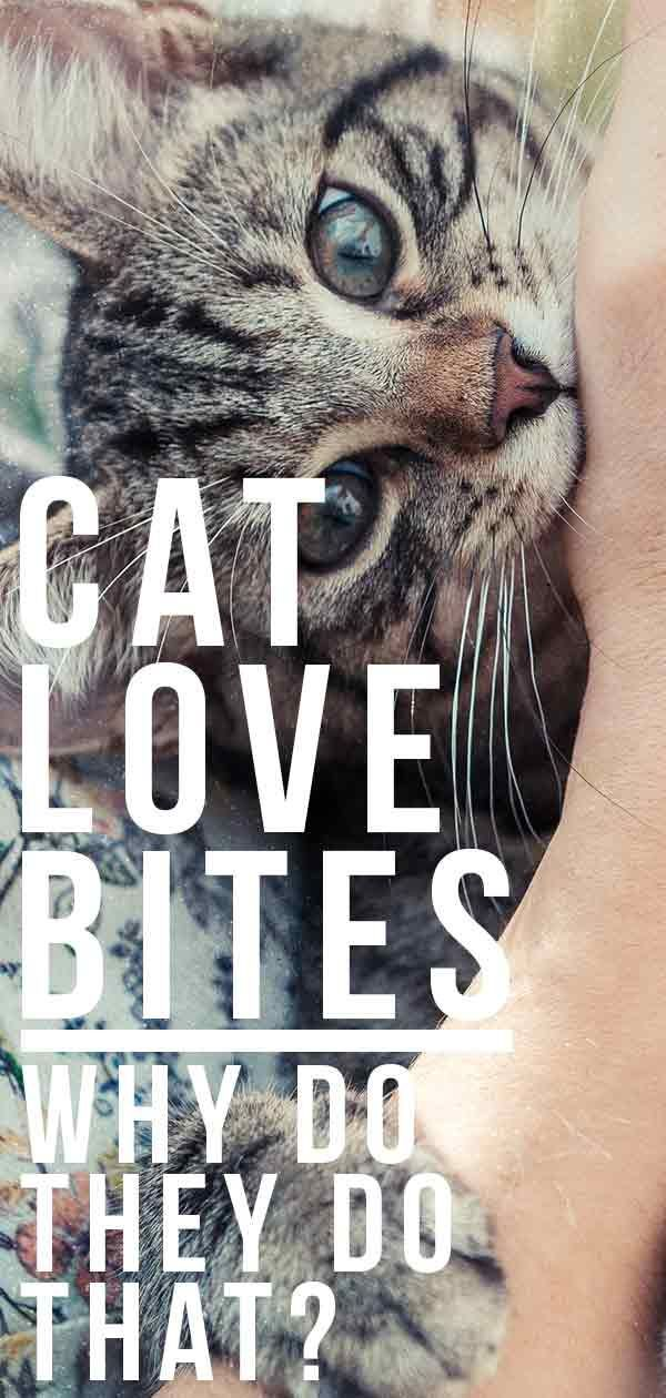 Cat Love Bites Why Do They Do That Cat Love Cat Biting
