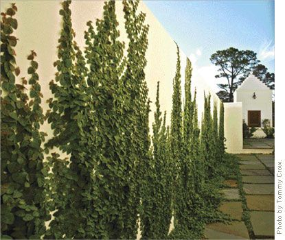 Creeping fig vine...i want my back walls in my backyard covered in vines like this