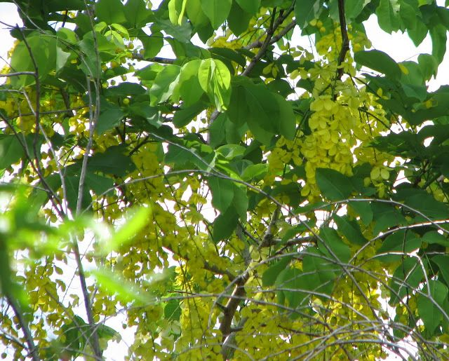 The Fragrant Linden Tree (Tilia)