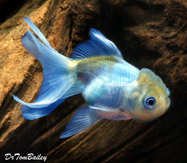 Above A Premium Quality Blue Oranda Goldfish This Oranda Has Some Subtle Blue Coloration Great For Any Pond Comments T Oranda Goldfish Goldfish Pet Fish