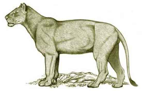 The American lion lived in both North and South America (from Alaska to Peru) during the Pleistocene epoch, and went extinct 11,000 years ago, at the end of the last Ice Age. Most scientists believe that the American Lion was a gigantic relative to modern lions, perhaps even belonging to the same species (in which case the correct name would be Panthera leo atrox).