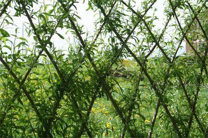 Cl ture vivante osier tressage plessis pinterest for Haie jardin anglais