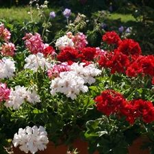 Photo de  Géranium lierre double blanc (Pelargonium peltatum)