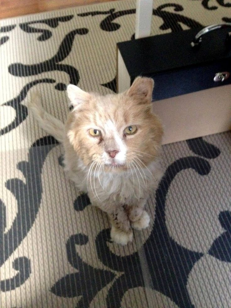A disheveled stray cat was found wandering outside carrying a lot of matted fur on his back. With food, a shave and lots of TLC, he completely transformed!Meet Frisbee!         Merrimack River Feline Rescue Society         When Frisbee was spotted, he was covered in dirt and mats. Rescuers of Lowell...