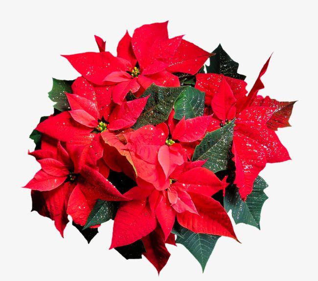 크리스마스 꽃 마젠타 크리스마스 꽃 장식 크리스마스 꽃 꽃 의미 꽃