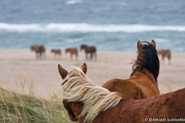 Damian Lidgard, Sable Island. Wild horses. I wonder if they know how perfect they are?