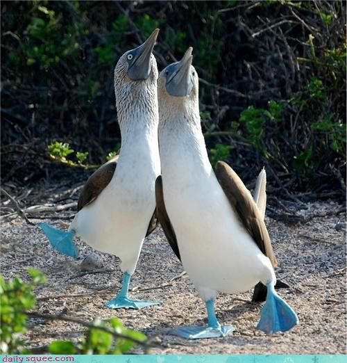 Must learn the Blue Footed Booby Dance on the Galapagos Islands. Look at 'em go!