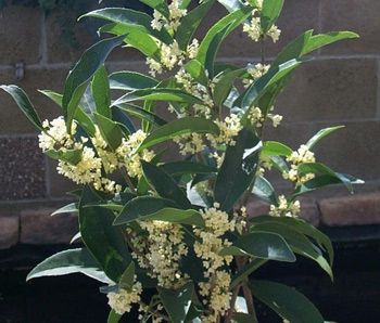 $ 29 Fragrant Tea Olive    For a hedge place your Fragrant Tea olives about 4 feet apart and their foliage will fill in.   .....