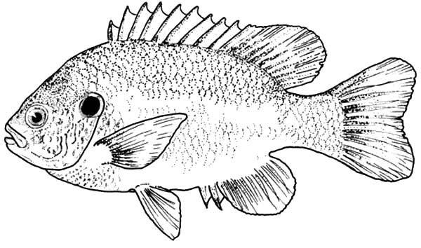 Free Large Mouth Bass Coloring Pages Sketch Coloring Page