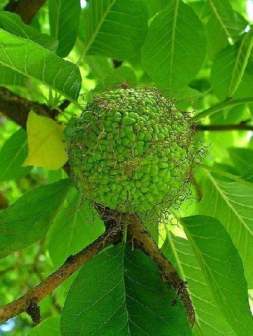 L'oranger des Osages est un arbre original qui porte des fruits verts de la taille d'une orange. Ces fruits ne sont pas comestibles mais sont très décoratifs. Nous vous proposons de découvrir cet arbre originaire d'Amérique du Nord.