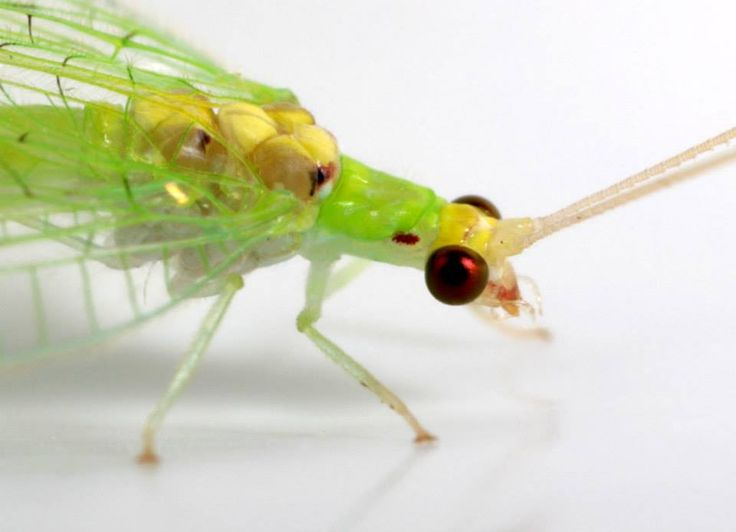 32 best Neuroptera images on Pinterest | Beautiful bugs ...