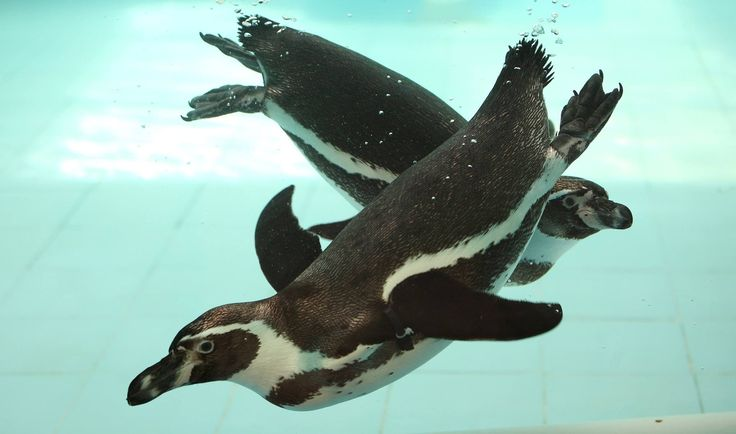 Wanna see what it's like to dive with penguins?   #watchthis #penguins #africanpenguin #torontozoo #gopro